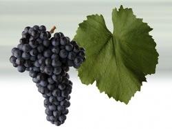 Odrůdy vinné révy